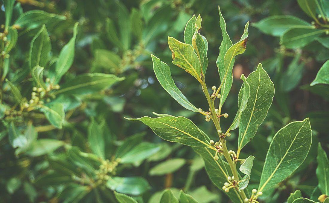 bay laurel tree leaves