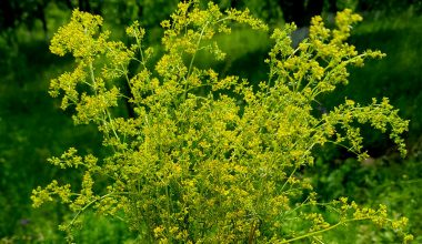 lady's bedstraw bouquet