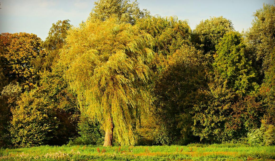 willow tree summer