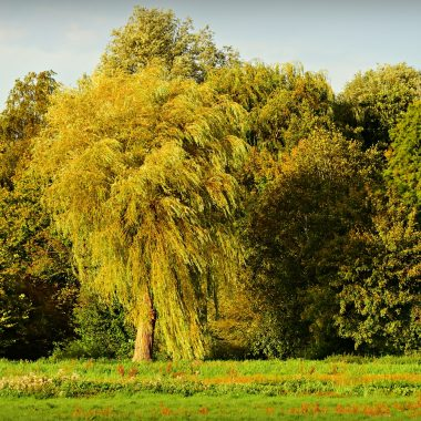 willow tree summer