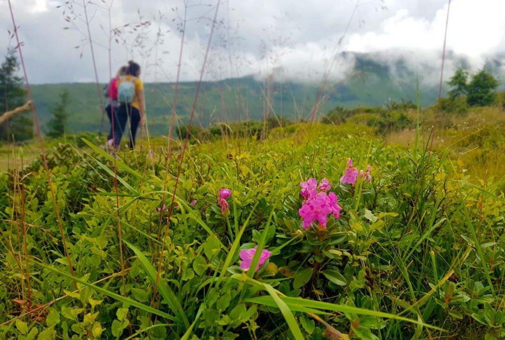 mountain peony in Rodnei Mountains