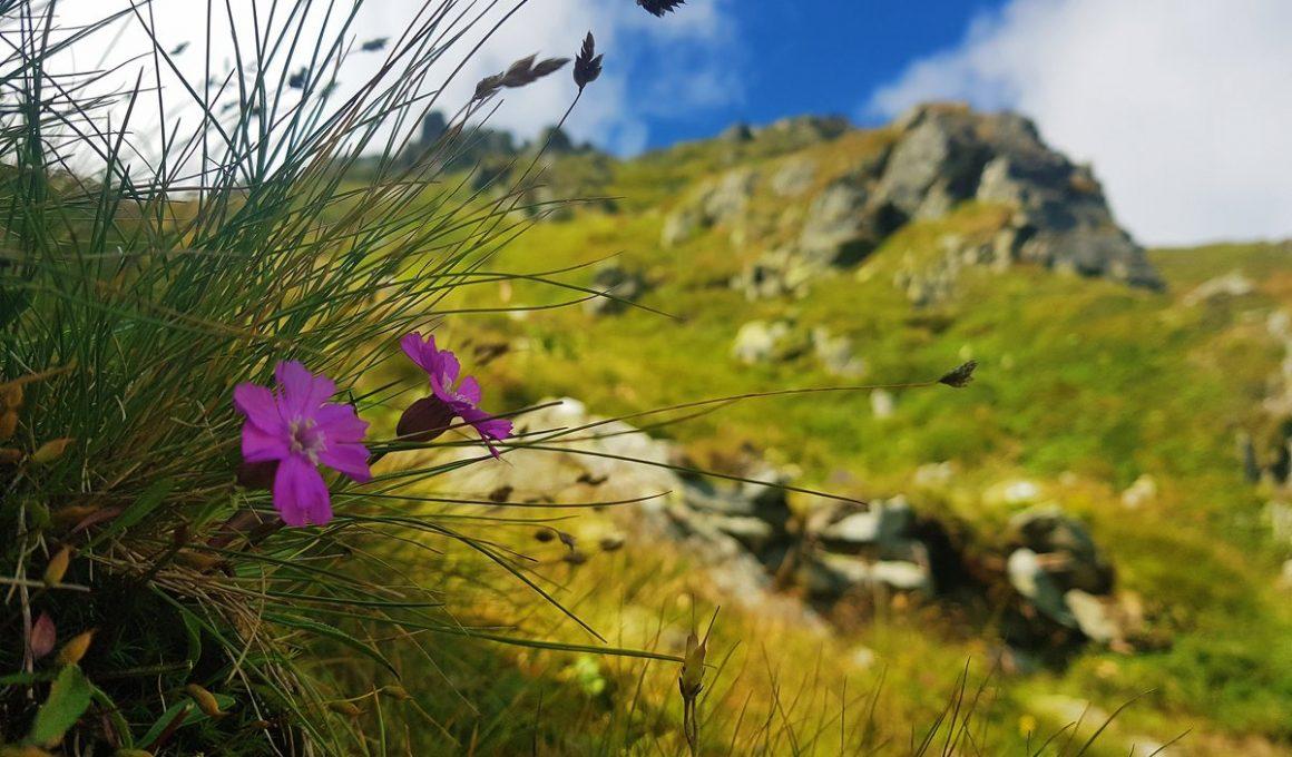 rodnei mountains pietrosu peak wild flowers