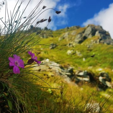 rodnei mountains pietrosu peak wild flowers