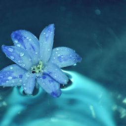 hyacinth flower in water