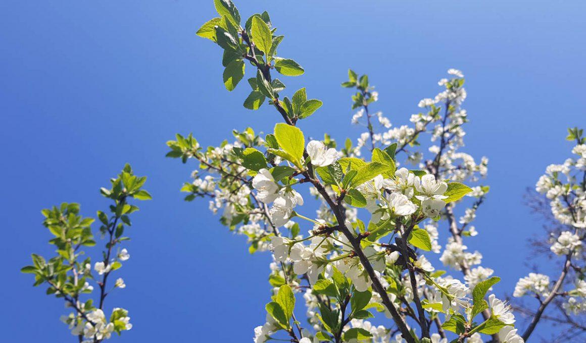spring bloom and blue skies