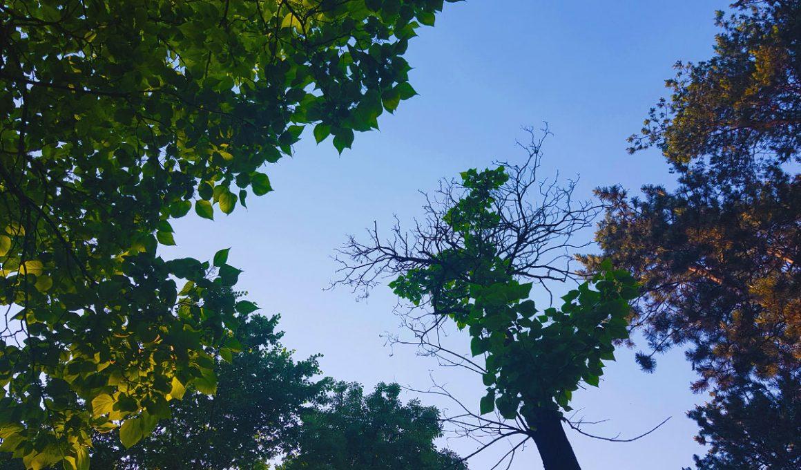 laurel journal featured image - tree crowns sky looking up